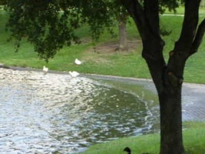 ducksbypond